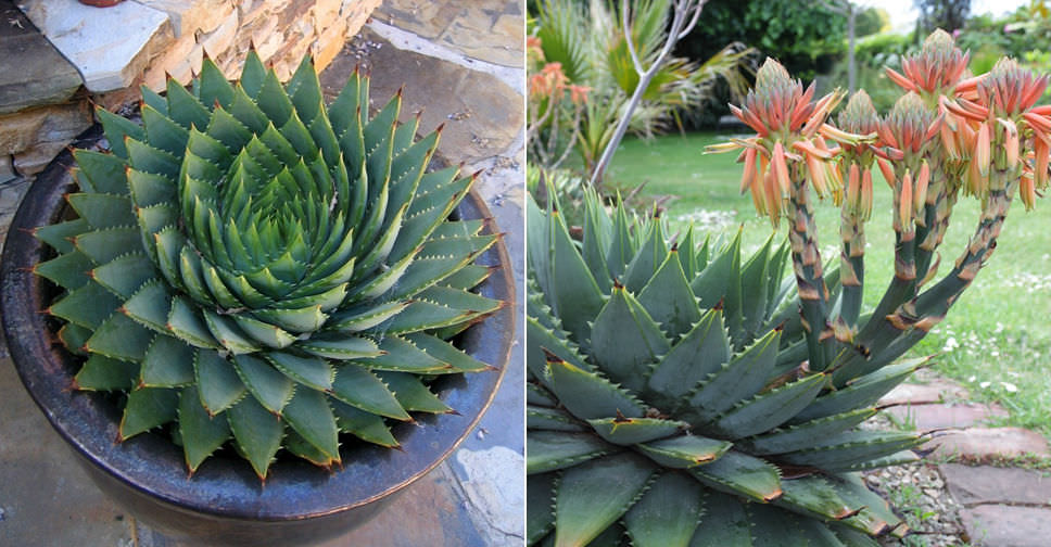 How To Grow And Care For A Spiral Aloe World Of Succulents