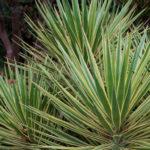 Yucca gloriosa 'Variegata' (Variegated Spanish Dagger)