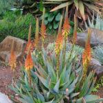 Aloe microstigma (Cape Speckled Aloe)