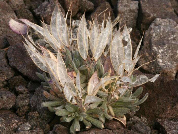 Anelsonia eurycarpa (Daggerpod)