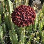 Caralluma umbellata (Umbelled Caralluma)