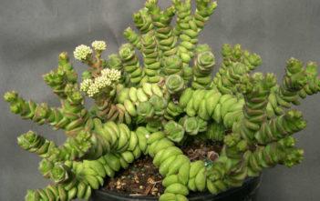 Crassula rupestris subsp. marnieriana 'Contorta'