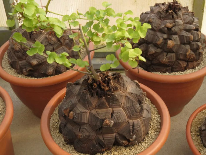 Dioscorea elephantipes (Elephant's Foot)