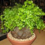Dioscorea elephantipes (Elephant's Foot)