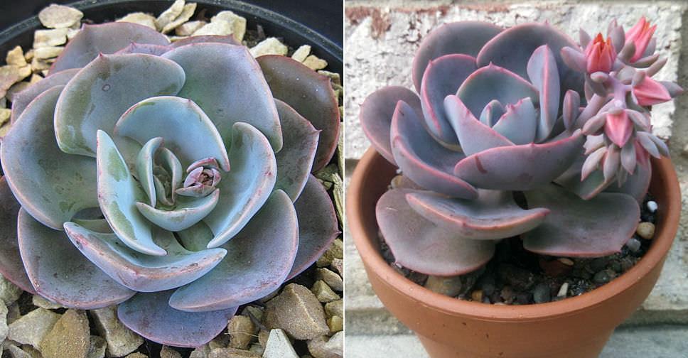 Small Succulent Plant Echeveria Dusty Rose