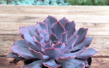 Echeveria shaviana 'Pink Frills' (Pink Frills Echerveria)