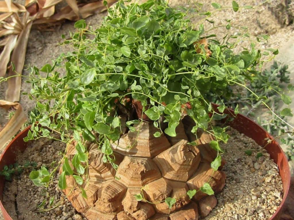 How To Grow And Care For An Elephant S Foot Dioscorea Elephantipes