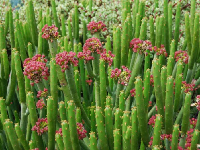 Euphorbia alluaudii (Cat Tails Euphorbia)