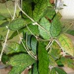 Hoya finlaysonii (Wax Plant)