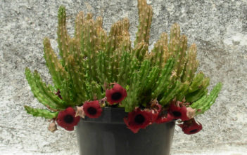 Huernia schneideriana (Red Dragon Flower)