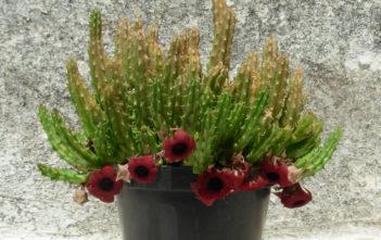 Huernia schneideriana (Red Dragon Flower)