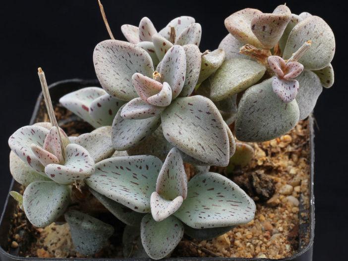 Lenophyllum guttatum (Sharpleaf Lenophyllum)
