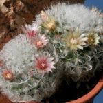 Mammillaria bocasana 'Multilanata' (Powder Puff Cactus)