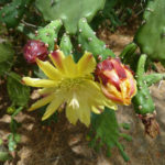 Opuntia monacantha (Drooping Prickly Pear)