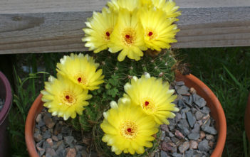 Parodia ottonis (Indian Head Cactus)