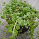 Plectranthus prostratus (Succulent Swedish Ivy)