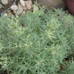Sedum lineare 'Sea Urchin' (Sea Urchin Sedum)
