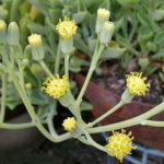 Senecio kleiniiformis (Spear Head)