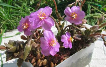 Anacampseros rufescens (Sand Rose)
