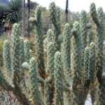 Austrocylindropuntia cylindrica (Cane Cactus)