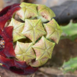 Caralluma indica (Indian Caralluma)