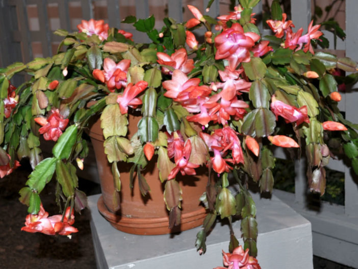 Christmas Cactus Leaves Turn Red