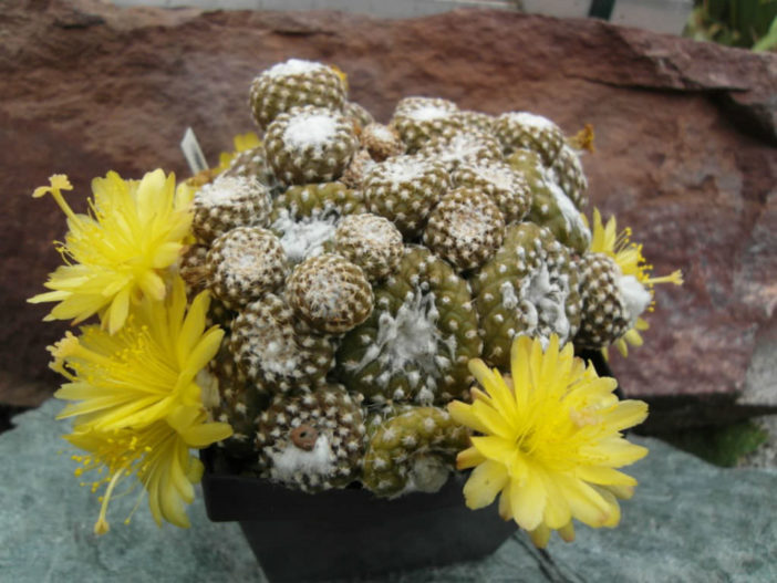 Care Copiapoa laui