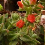Echeveria 'Pulvicox'