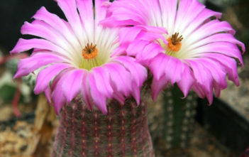 Echinocereus rigidissimus (Arizona Rainbow Cactus)
