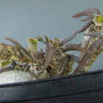 Euphorbia cylindrifolia