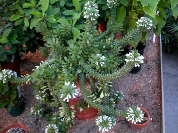 Euphorbia lugardiae