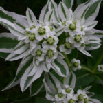 Euphorbia marginata (Snow on the Mountain)