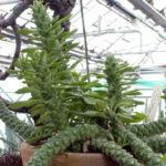 Euphorbia succulenta