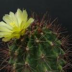 Ferocactus hamatacanthus (Mexican Fruit Cactus)
