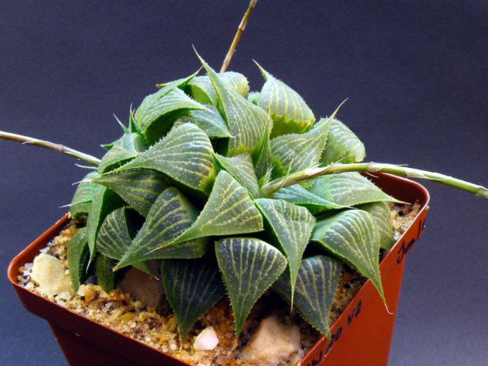 Haworthia magnifica var. acuminata