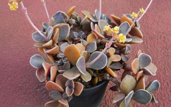 Lenophyllum obtusum