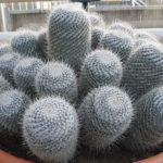 Mammillaria geminispina (Twin-spined Cactus)
