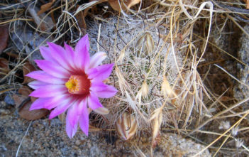 Mammillaria tetrancistra (Common Fishhook Cactus)