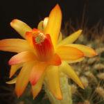 Matucana aurantiaca (Orange Matucana)