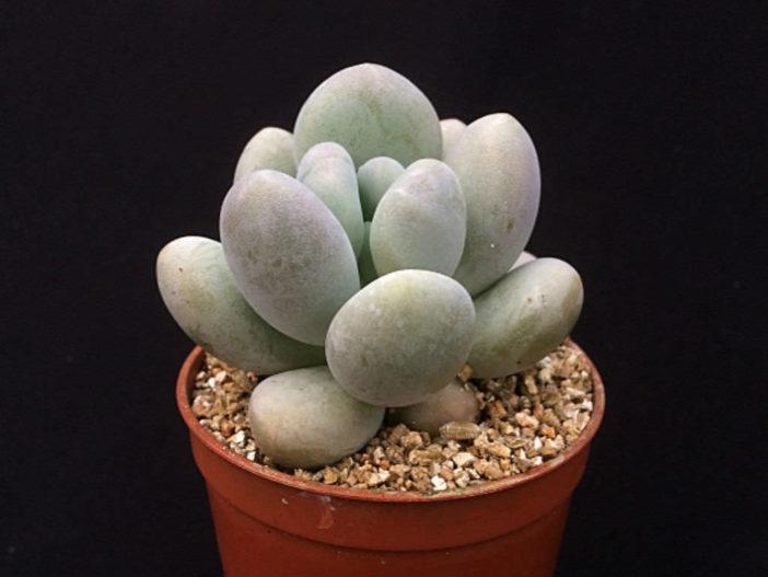 Pachyphytum bracteosum (Silver Bracts)