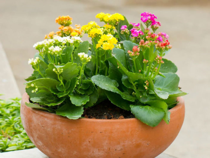 Plant Kalanchoe Outdoors
