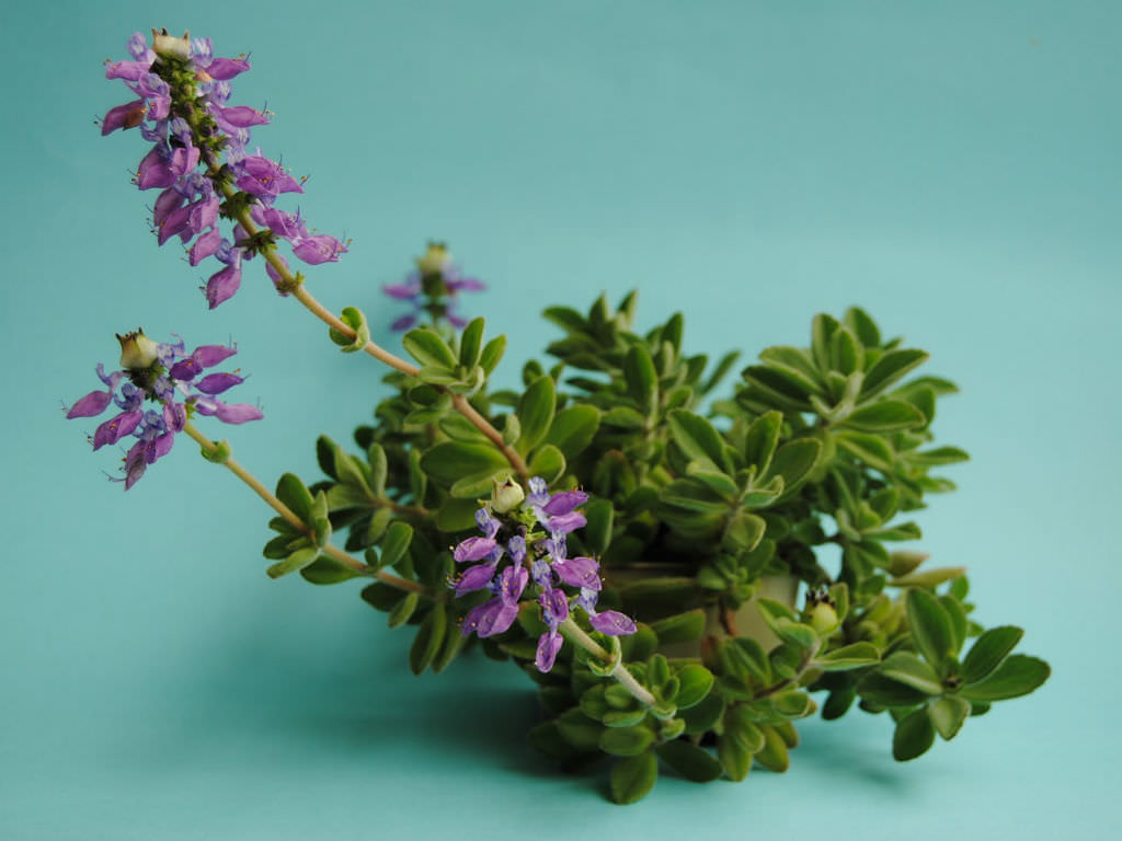 Plectranthus Neochilus Lobster Flower World Of Succulents