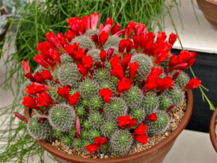 Rebutia deminuta (Crimson Crown Cactus)