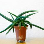 Sansevieria patens (Snake Plant)