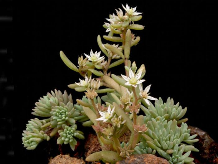 Sedum hispanicum (Spanish Stonecrop)