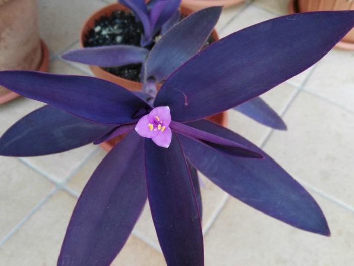 Tradescantia pallida 'Purpurea' (Purple Heart)