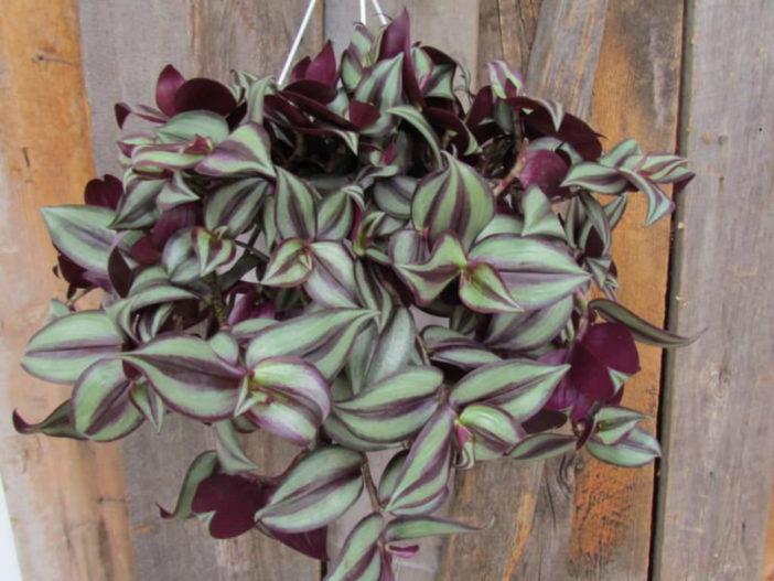 Tradescantia zebrina (Inch Plant)