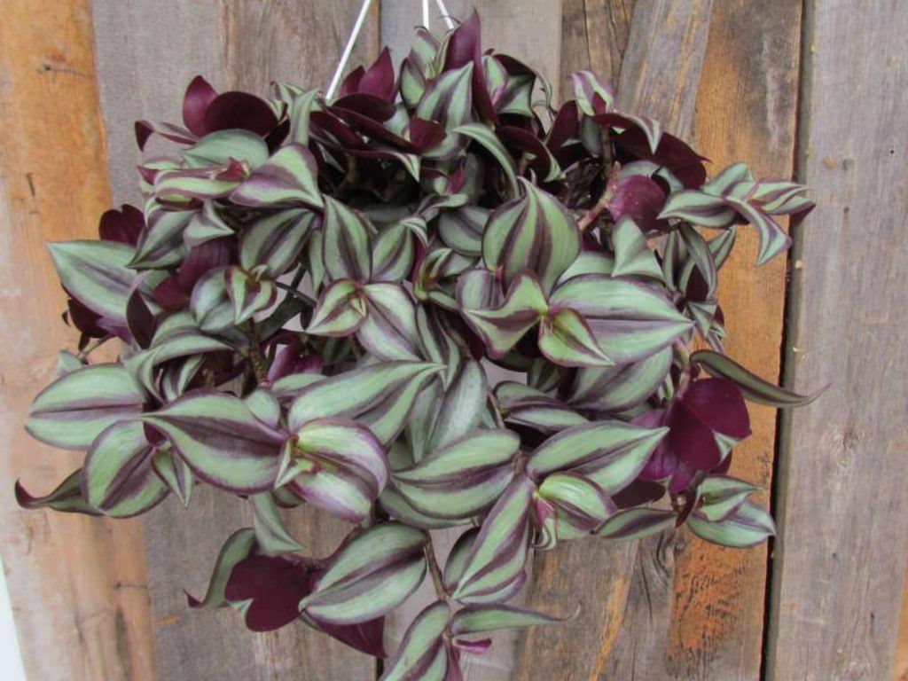Garden Bush: Tradescantia Zebrina (Inch Plant)