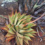 Tulista marginata aka Haworthia marginata