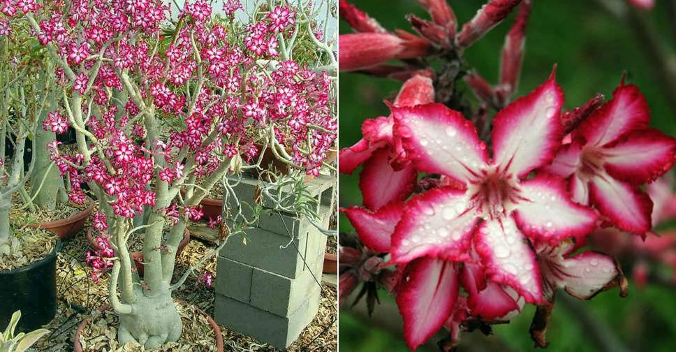 Adenium Multiflorum Impala Lily World Of Succulents
